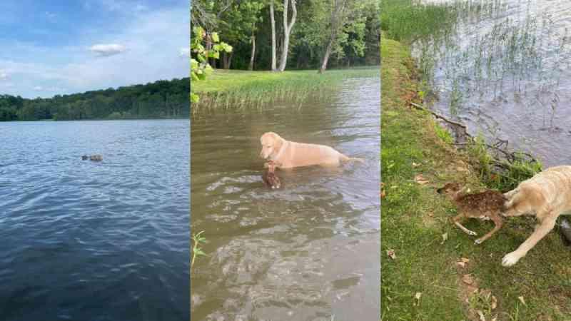 Cachorro pula em lago e salva cervo bebê que se afogava