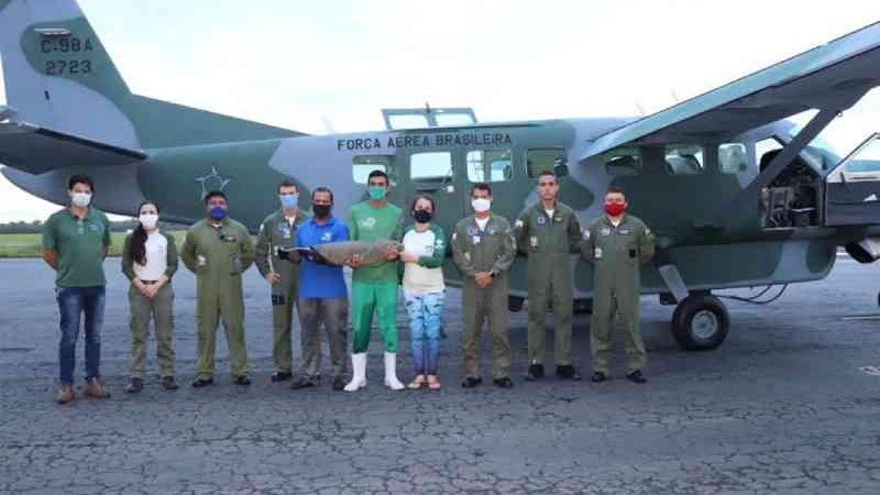 FAB realiza transporte aéreo de peixe-boi do Maranhão para Rio Grande do Norte