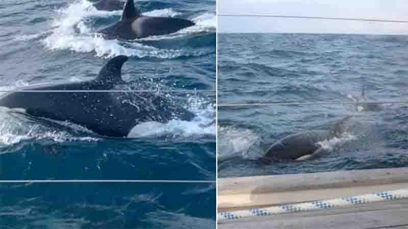 Grupo de 30 orcas cerca e ataca iate durante duas horas: 'Parecia que elas tinham um plano'