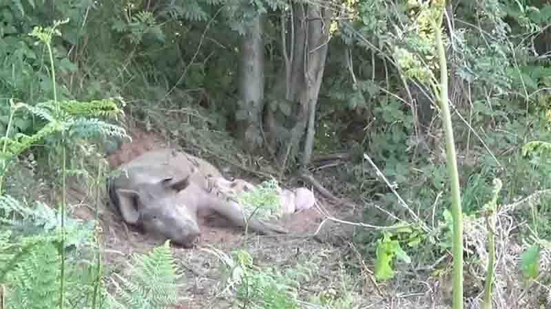 Porca grávida foge de fazenda para dar à luz é salva por ONG