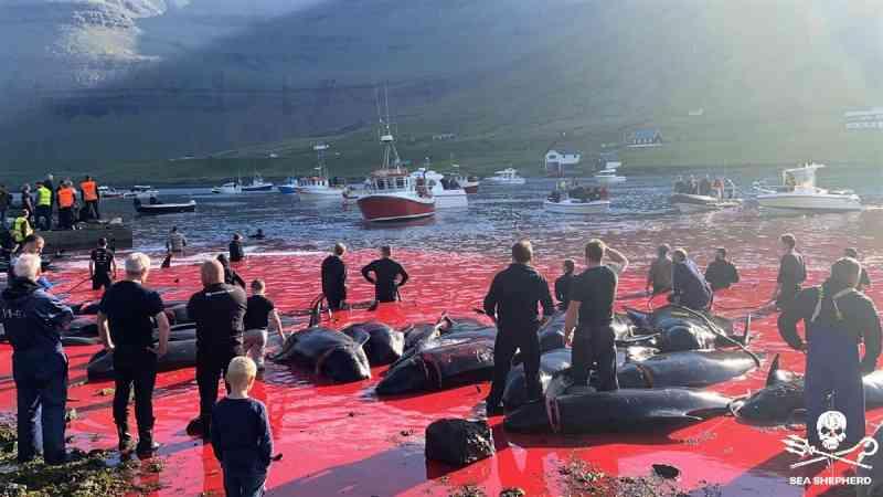Novo massacre de 175 baleias-piloto provoca 'maré vermelha'