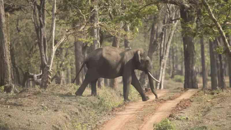 Elefantes perdem habitat e até 100 são mortos anualmente por conflito com humanos na Índia