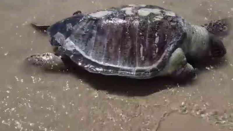 Tartaruga é encontrada morta na praia de São Marcos, em São Luís, MA