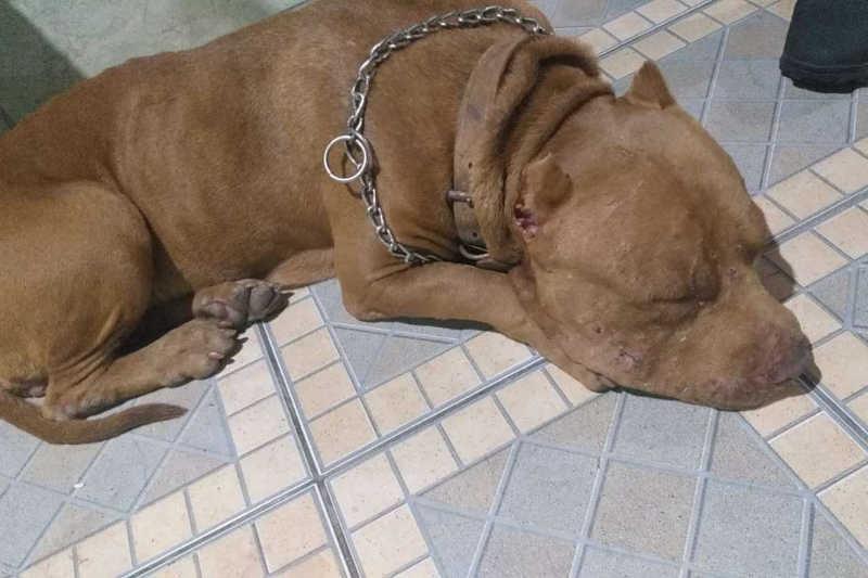 Pit bull é resgatada por policiais após ser encontrada sozinha e machucada em Belo Horizonte