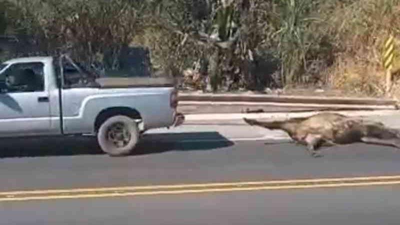 Caminhão carregado com bois tomba, animais são sequestrados e arrastados vivos em MG; VÍDEOS