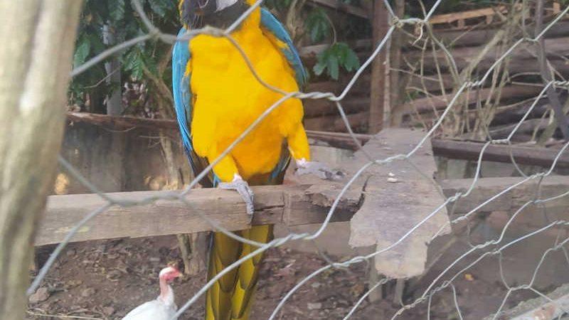 Animal foi apreendida nesta quarta-feira (16), dentro de um galinheiro — Foto: 1º Pelotão da 4ª Cia de Meio Ambiente de Juiz de Fora/Divulgação