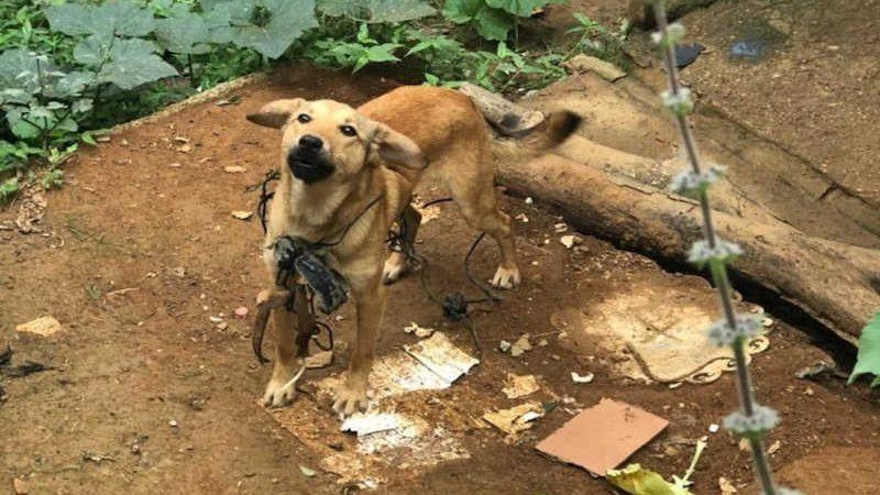 Fios de arame farpado foram colocados em volta dos pescoços dos animais — Foto: Polícia Civil/Divulgação