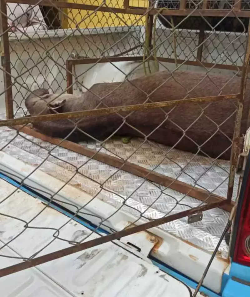 Protetores tentam salvar anta que agonizava, mas resgate não chega a tempo, em Bonito, MS