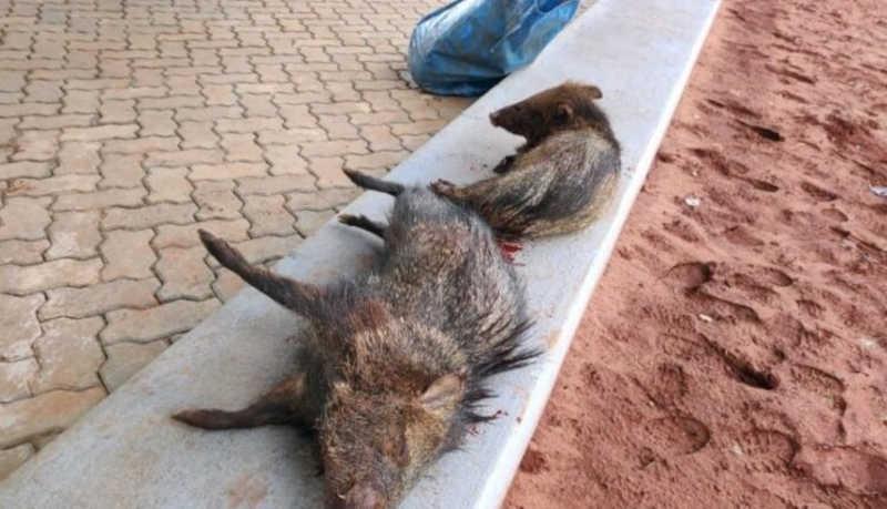 Polícia Ambiental de Cassilândia (MS) autua dois em R$ 2 mil por caçar e matar 2 catetos