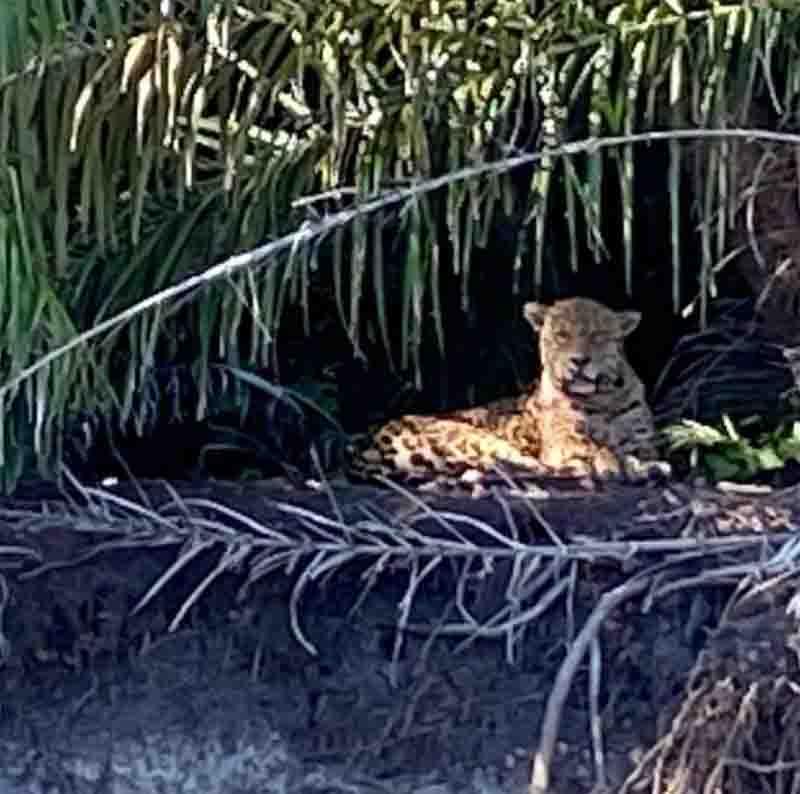 Após morte de onças, ONG vê agrotóxicos como risco à fauna do Pantanal de MS