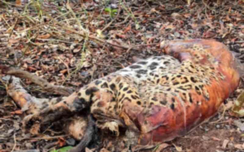 No Pantanal, onça monitorada é achada morta junto com outro felino e mais 17 animais; suspeita é de envenenamento