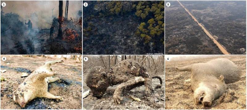 Fauna e flora do Pantanal são afetadas com as queimadas — Foto: Reprodução