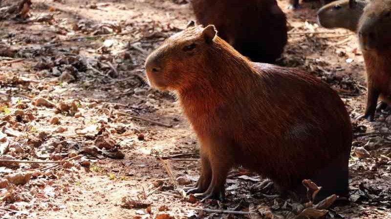 Prefeitura consulta biólogos e veterinários para retirar capivaras dos parques de Cuiabá, MT