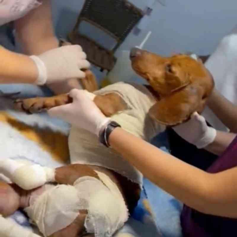 Cachorro resgatado semana passada morre durante tratamento em Sinop, MT