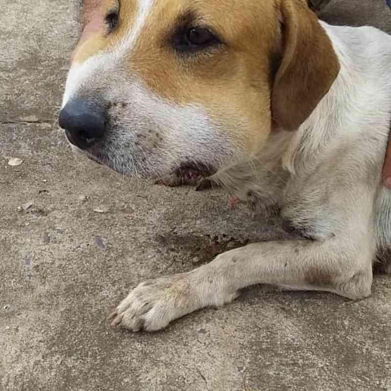 Após apanhar, cachorro é abandonado com rosto inchado e ferimentos; vídeo