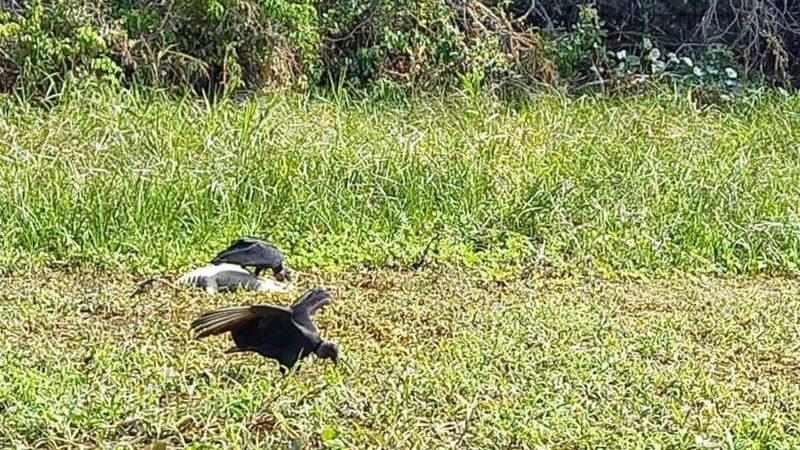Jacarés foram mortos em Porto Jofre — Foto: Sema-MT