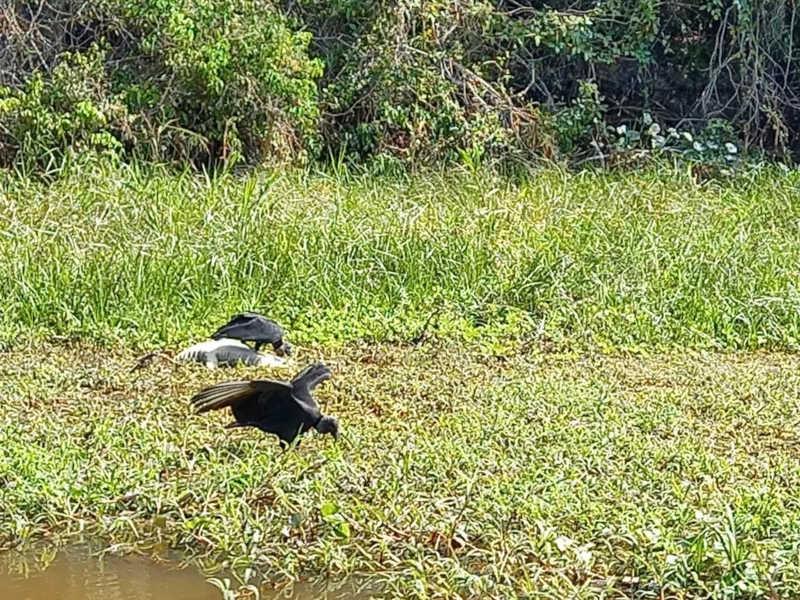 Mortes de 9 jacarés por turistas é apurada pela Secretaria de Meio Ambiente de MT