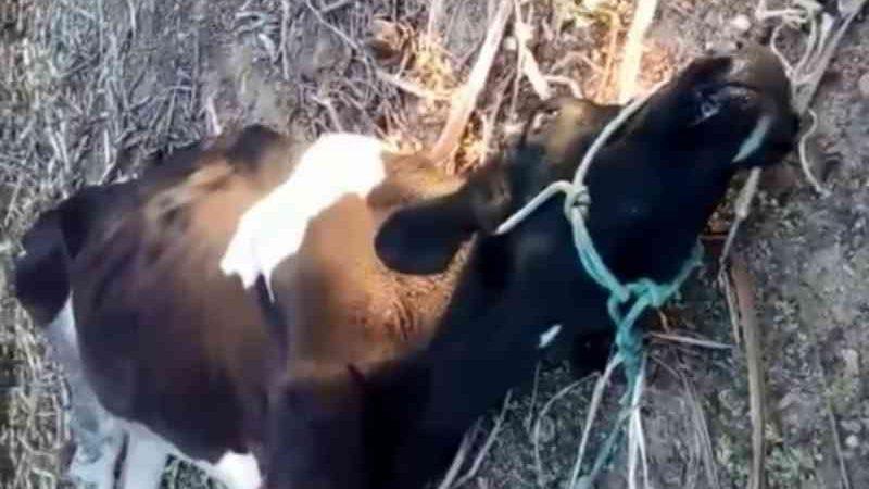 Após maus-tratos, boi não resiste e morre. Tutor ainda ateia fogo em animal dentro de curral irregular, em Patos, PB
