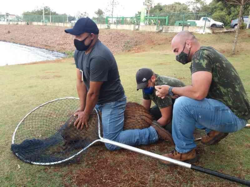 Secretaria do Meio Ambiente faz atendimento a capivara machucada no Lago, em Cascavel, PR