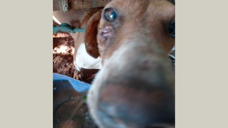 Cães de caça com pata quebrada, infecções e tétano são resgatados em Maria Helena, PR