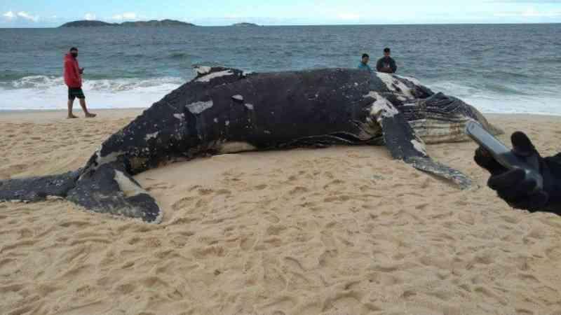 Duas baleias jubarte são encontradas mortas em Maricá (RJ) em menos de uma semana