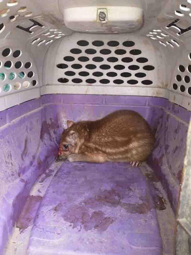 Paca foi encontrada ferida fugindo de caçadores. Foto: Divulgação/Prefeitura de Magé