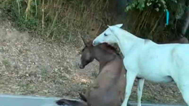 Cavalo atropelado por caminhão no Vale do Cuiabá (RJ) é sacrificado