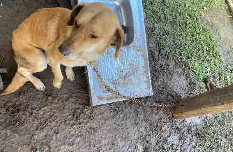 Mulher é presa após deixar cachorros acorrentados em SC; um estava na chuva