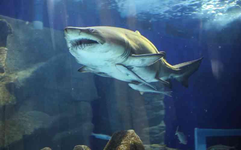 Morre Margarida, primeiro grande tubarão a chegar ao AquaRio