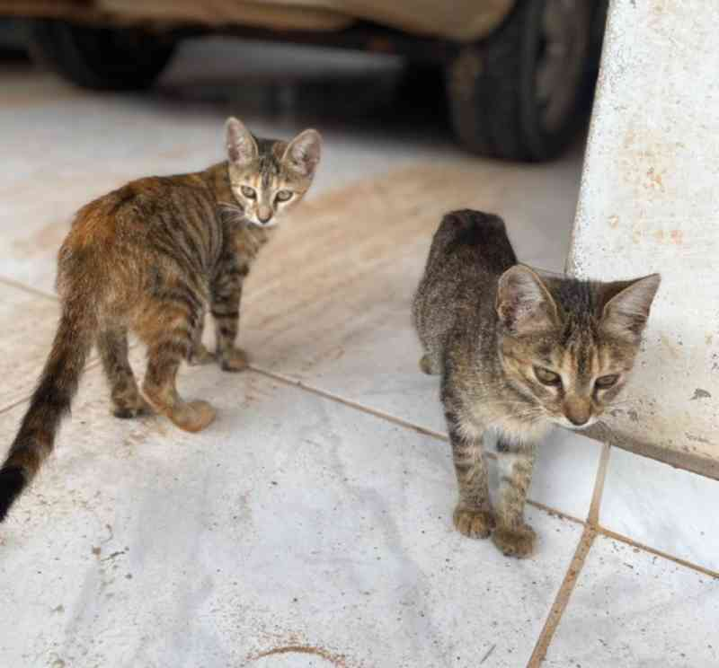 Homem joga filhotes de gato no meio da rua e Polícia Civil de RR investiga abandono; VÍDEO