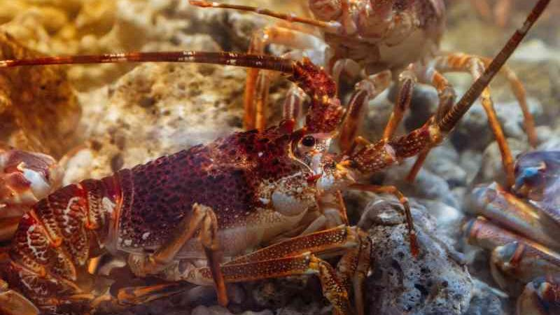 Os polvos e lagostas são inteligentes e têm sentimentos, defendem, a uma voz, ativistas e deputados britânicos