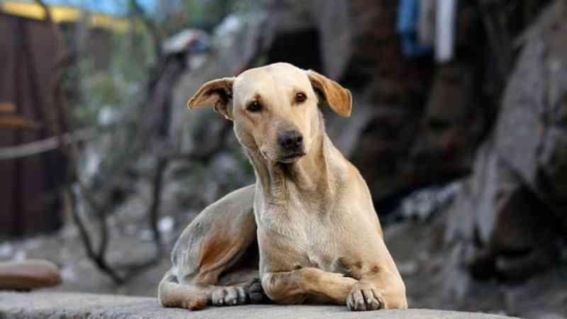 Justiça mantém obrigação de município de Canoinhas (SC) construir canil público para animais abandonados