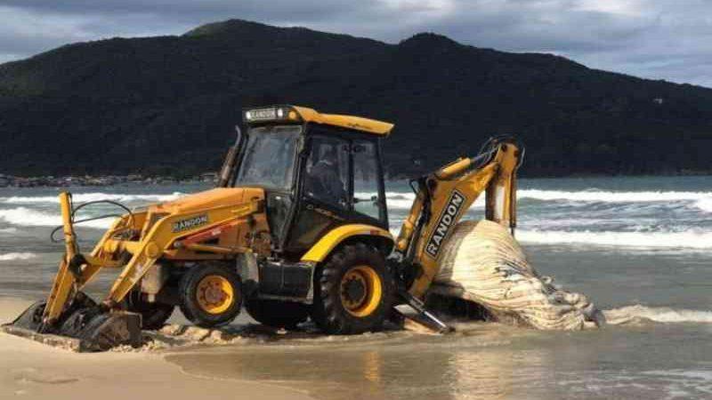 Baleia-jubarte morre em praia de Florianópolis, e carcaça precisa ser retirada com patrola; veja vídeo