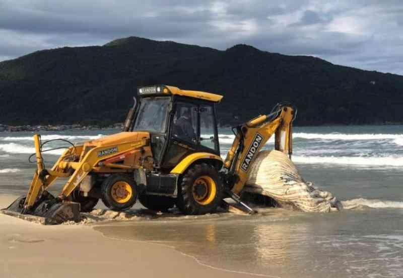 Baleia-jubarte morre em praia de Florianópolis e carcaça precisa ser retirada com patrola; veja vídeo