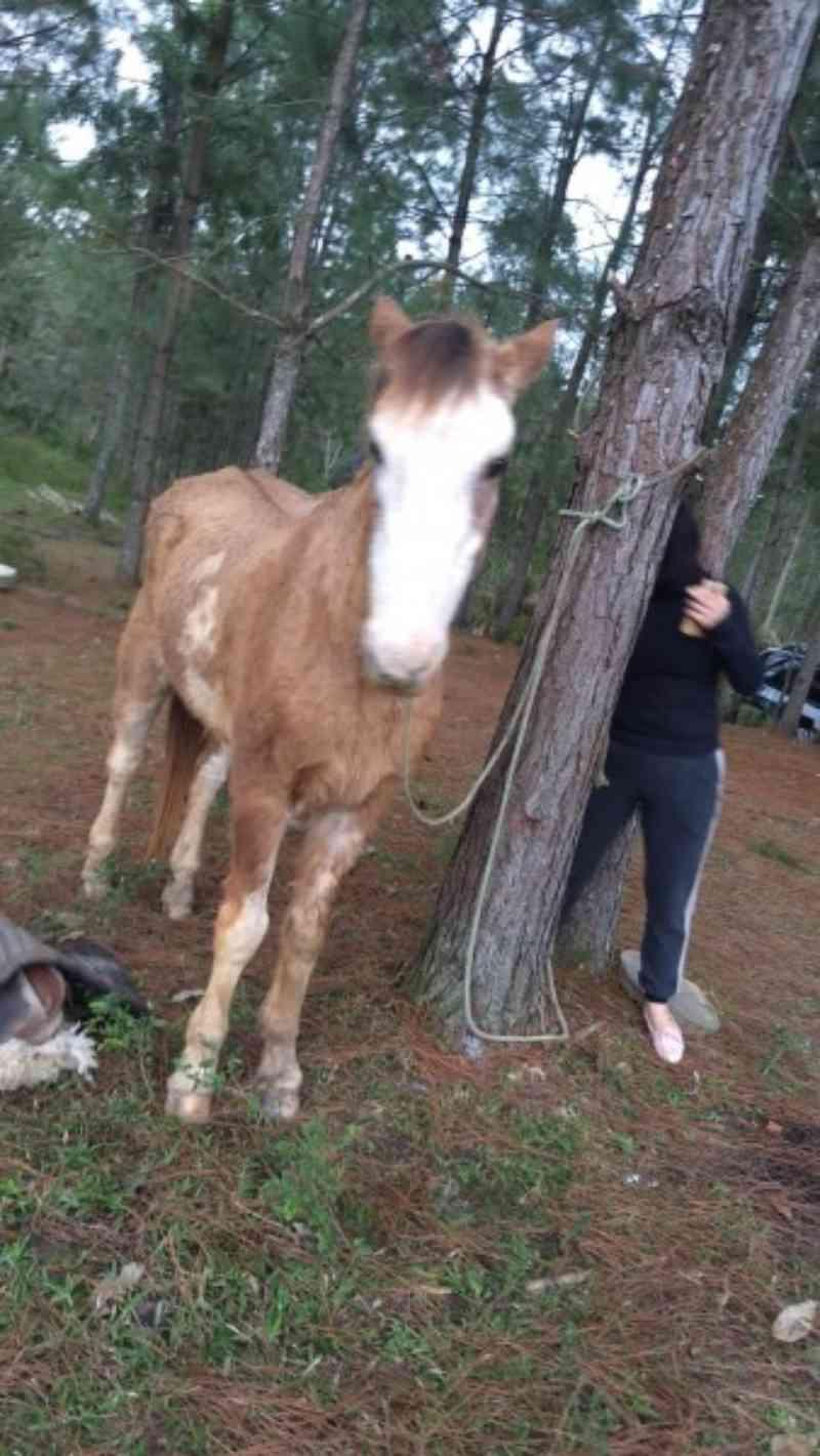 Cavalo encontrado vivo em abatedouro clandestino em SC está seguro, afirma presidente de ONG