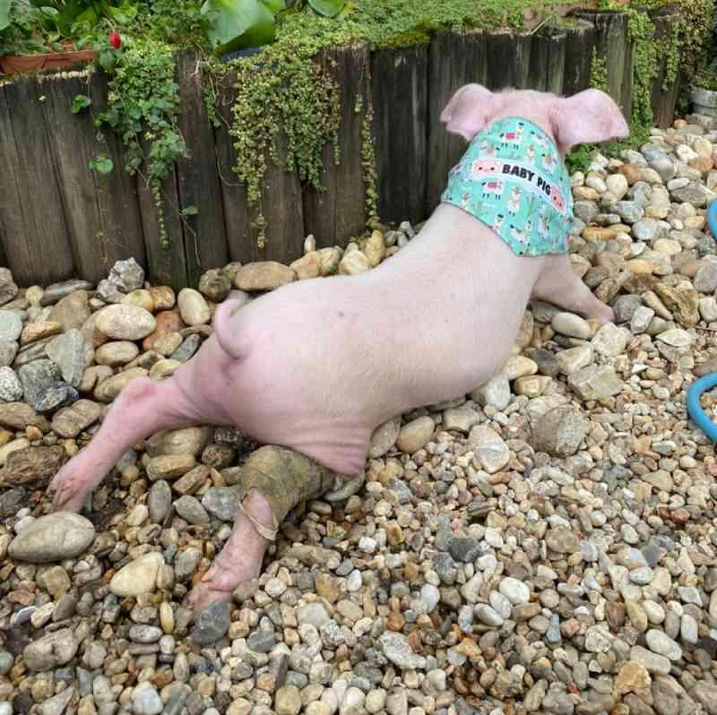 Filhote de porco resgatado ao cair de caminhão em SC vai para reabilitação