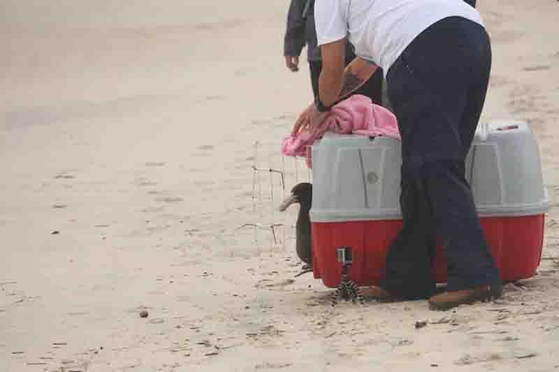 Após reabilitação, ave oceânica é solta em praia de Florianópolis, SC