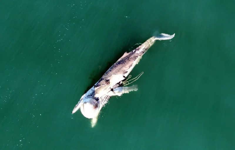 Rede de pesca ilegal afoga baleias no fim de semana em Florianópolis, SC