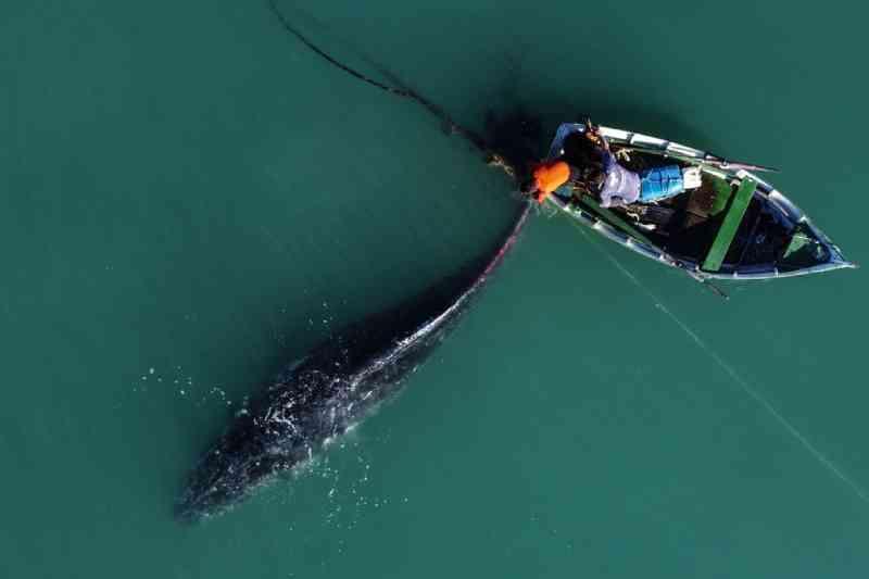 Imagens mostram auxílio à baleia presa em rede de pesca; SC é o 2º estado com mais mortes de jubarte em 2021, dizem especialistas