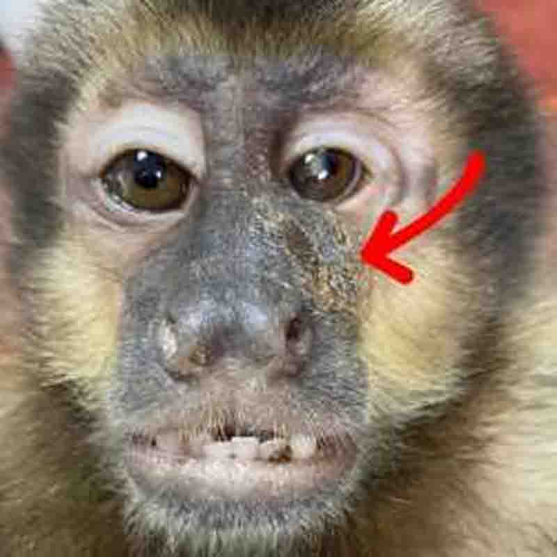 Macaco é resgatado com chumbinhos na cabeça disparados por arma de fogo em SC