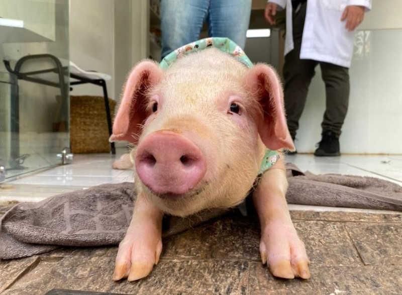 Porco resgatado após cair de caminhão na BR-101 em SC será levado para santuário de animais