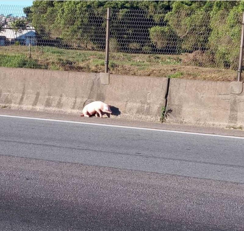 Filhote de porco estava com uma das patas quebradas e se movimentava com dificuldade, segundo bióloga — Foto: Rosa Elisa/Arquivo Pessoal