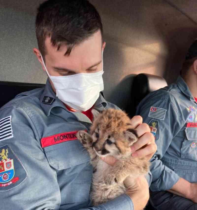 Filhote de onça-parda é resgatado com sinais de desidratação em canavial de Ipaussu, SP