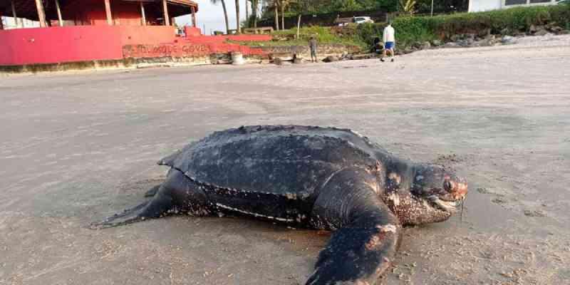 Tartaruga-gigante é encontrada morta em praia de Itanhaém, SP