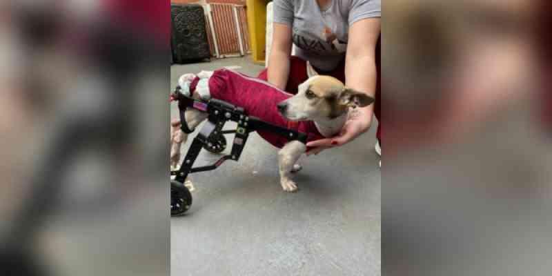Cadela paraplégica abandonada ganha cadeira de rodas e não para de correr feliz, em Santos, SP