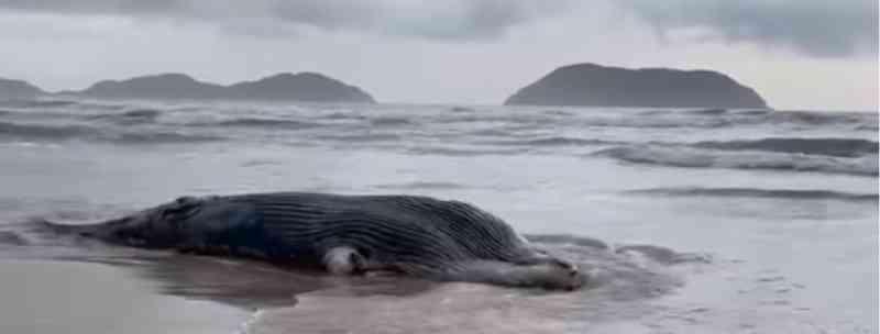 Filhote de baleia é encontrado morto na Praia de Juquehy em São Sebastião, SP