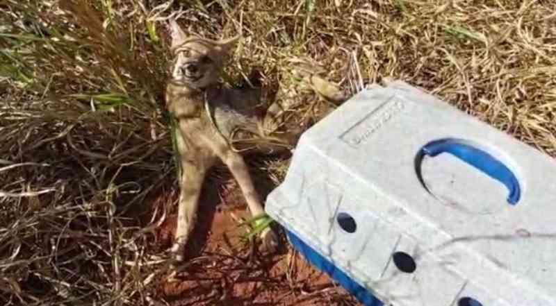 Ambientalistas resgatam cachorro-do-mato vítima de atropelamento em estrada vicinal em Presidente Epitácio, SP