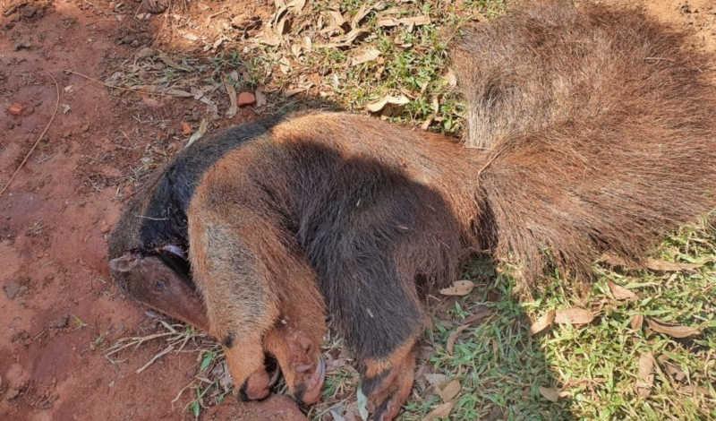 Homem é autuado por matar tamanduá a pauladas em Andradina, SP