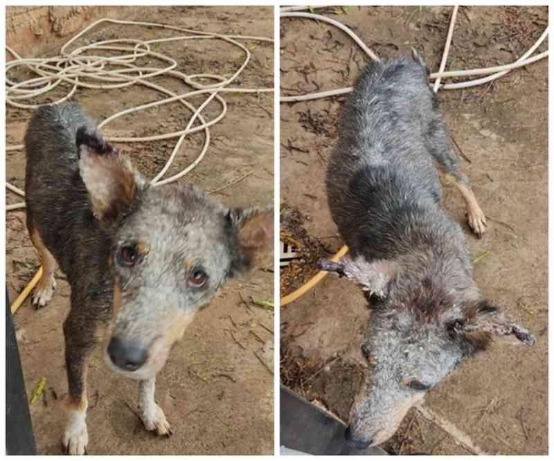 Cachorro é achado com sinais de maus-tratos após PM usar drone para investigar denúncia