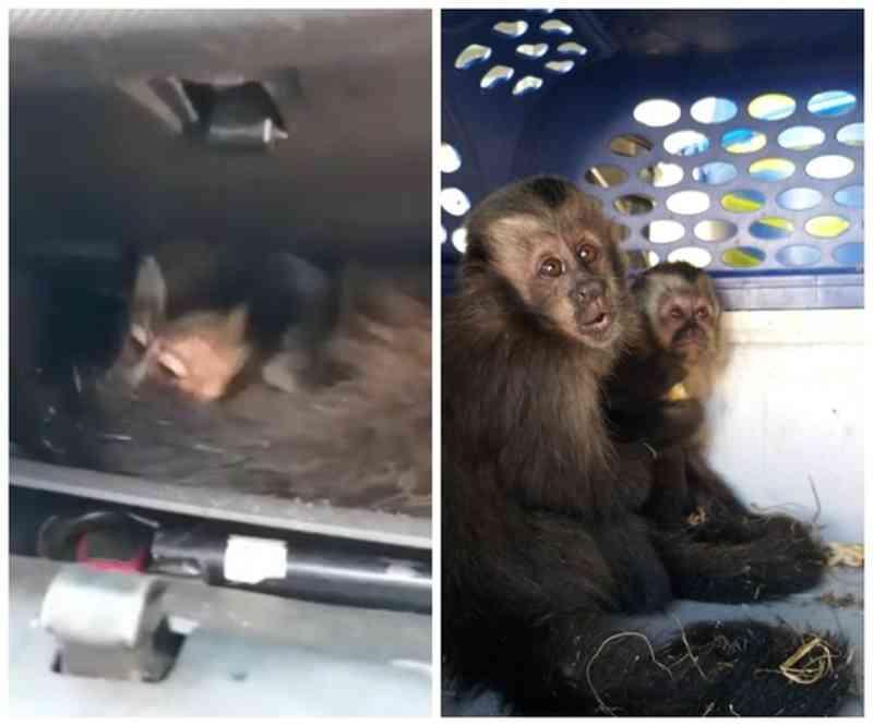 Casal flagrado com macacos-prego em porta-luvas diz à polícia que comprou animais na web por R$ 2 mil